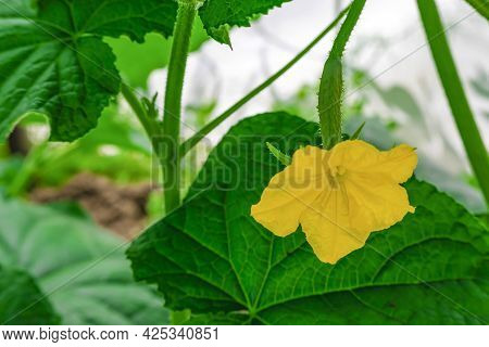 Small Cucumber With Yellow Flower And Tendrils Close-up On The Garden Bed. The Ovary Of Cucumber, Yo