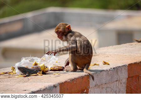 Rhesus Macaque Monkey , Baby Monkey Sitting On Wall ,eating Banana