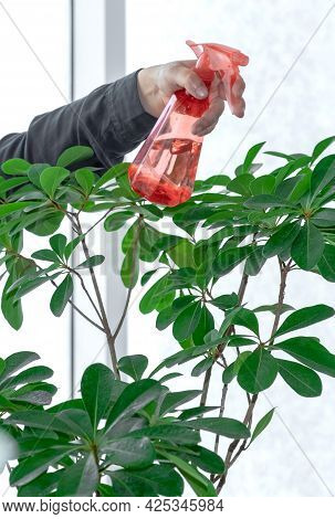 Hand Holding Sprayer Or Dispenser With Water Near The Houseplant, Take Care Of Plants Concept.