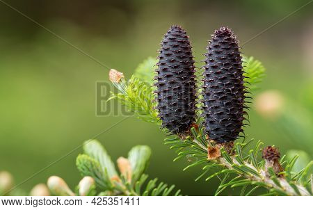 Young Spruce Abies Species Cones Growing On Branch With Fir, Closeup Detail