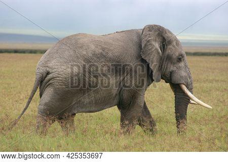 Side On Portrait Of Wild Elephant (loxodonta Africana) Ngorongoro Crater, Tanzania.