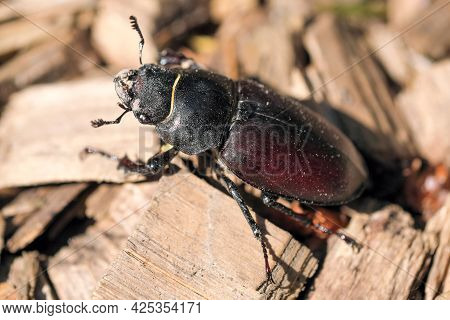 Woodcutter Beetle Large Insect Black-brown Color Close-up Macro Photography