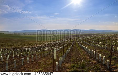Vineyards In The Countryside Near The Village Of Karlin In The Czech Republic. In The Background Is
