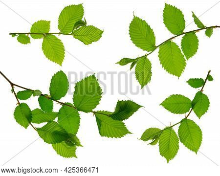 A Twig With Young Green Spring Leaves Isolated On White Background. Ecology Background.elm.