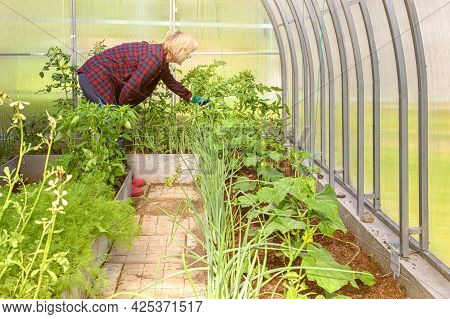 Woman Works In A Greenhouse, Examining The Planted Cucumbers And Tomatoes.
