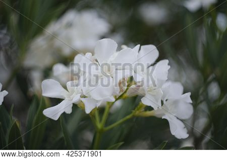 Nerium Oleander In Bloom, White Siplicity Bunch Of Flowers And Green Leaves