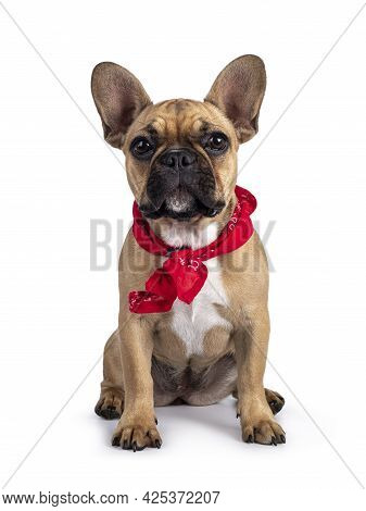 Cute Young Fawn French Bulldog Youngster, Sitting Facing Front Wearing Red Farner Scarf Around Neck.