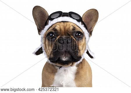 Head Shot Of Cute Young Fawn French Bulldog Youngster, Standing Facing Front Wearing Brown Pilot Hat