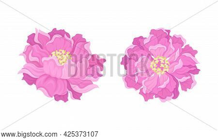 Peony Open Flower Bud With Showy Pink Petals And Stamens Vector Set