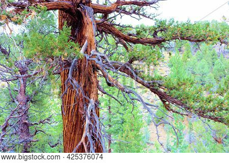 Old Growth Jeffrey Pine Tree With Its Sprawling Branches Taken At An Alpine Coniferous Forest In The