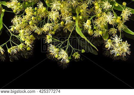 Lots Of Linden Or Tilia Flowers And Leaves On An Isolated Black Background. Medicinal Plants Commonl