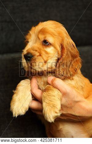 Beautiful And Cute Red Golden English Cocker Spaniel Puppy Wants To Sleep In Human Hands. Morning. G