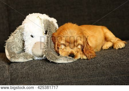 Beautiful And Cute Red Golden English Cocker Spaniel Puppy Sleeping With The White Teddy Bear On The