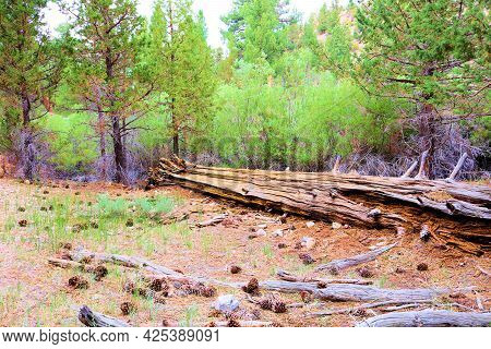 Pine Cones On An Alpine Meadow Surrounded By A Temperate Pine Forest Taken At A Grassy Field In The