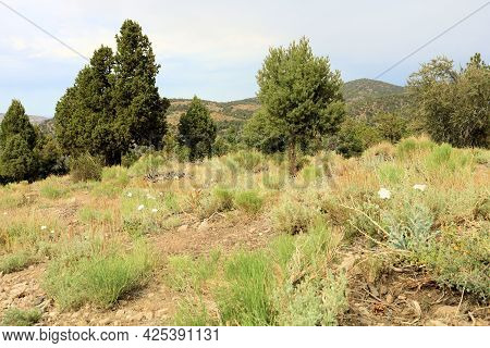 Lush Chaparral Plants Surrounded By A Juniper And Pinyon Pine Woodland Taken At An Alpine Meadow In