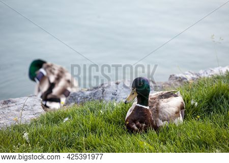 Selective Blur On A Male Mallard Duck Standing By The Waters Of Bled Lake In Slovenia. The Mallard,