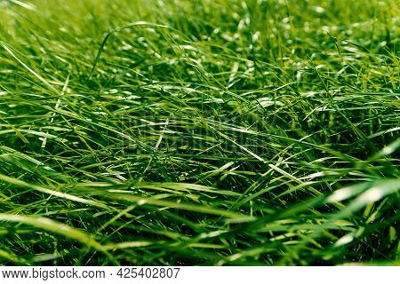 The Texture Of Green Grass Surface For The Background, Grass Field Lawn Pattern Textured.