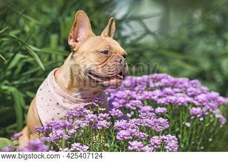 French Bulldog Dog Sitting Between Purple Spring Flowers