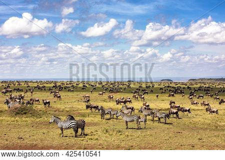 A herd of zebra, Equus quagga, and white-bearded wildebeest, Connochaetes taurinus,  graze the open plains of the Masai Mara, Kenya, during the annual great migration.