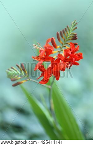Crocosmia Flower. Crocosmia Red Lucifer.montbrecia Flower Close-up.bright Red Autumn Flowers On Blur
