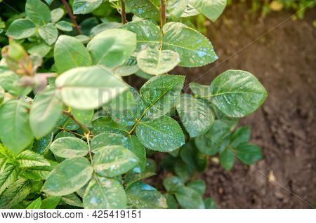 Fertilizing Roses In Spring From Pests And Diseases. Treating Plants From Harmful Insects, Liquid Fe