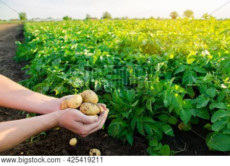 Fresh Young Potatoes In The Hands Of A Farmer On The Background Of Agricultural Potato Plantations.