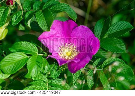 Pink Rosa Rugosa Flower Also Known As Japanese Rose, Beach Rose Blooming In Summer.