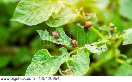 Colorado Potato Beetle - Leptinotarsa Decemlineata On Potatoes Bushes. A Pest Of Plant And Agricultu