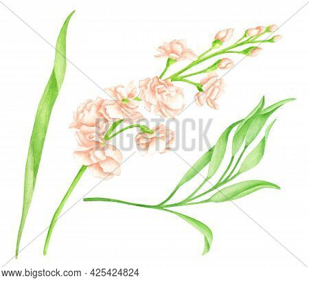 Watercolor Blush Matthiola Flower And Leaves. Hand Drawn Cream Rose Flower Heads On Green Stem Isola