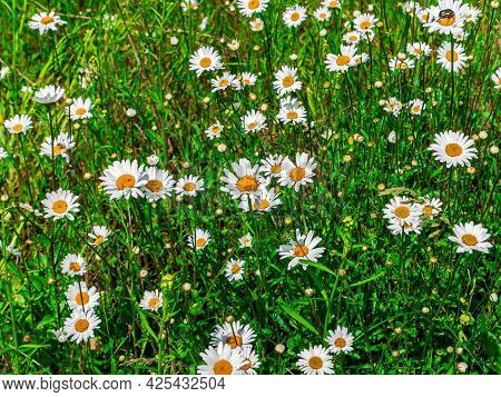Blooming Flowers Of White Chamomile On A Green Meadow. White Chamomile. Daisy Blooming Season. Green