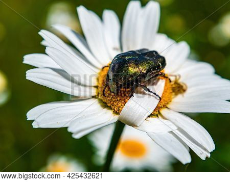 Green Beetle Cetonia Aurata On A Blooming Chamomile Flower. Cetonia Aurata. White Chamomile. Daisy B