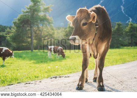 Cute Sunlit With Backlight Calf From The Brown Cattle Breed On An Alpine Pasture Meadow With Crazing