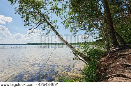 Birch Tree On Lake Shore