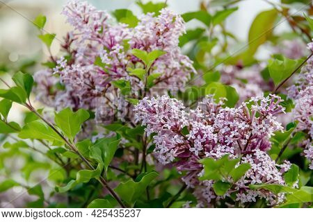 Summer Background With Branches Of Blooming Lilacs. Dreamy Gentle Air Artistic Image. Soft Focus.