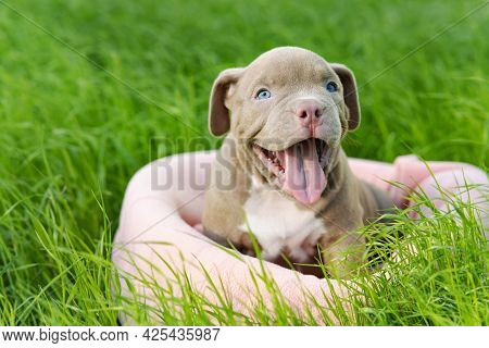 Cute, Smile Puppy Sitting On The Grass On A Sunny Day. Funny Small Dog Breed American Bully. Happy C