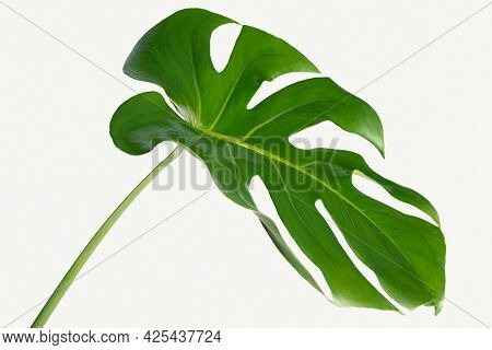 Monstera delicosa plant leaf on a white background mockup