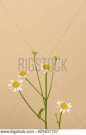 White daisy flowers on beige background