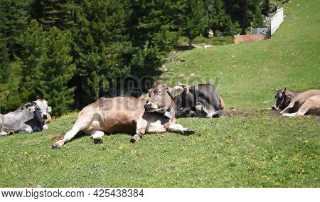 Alpine Cow. Portrait Of A Gray Beautiful Cow In A High Alpine Meadow.