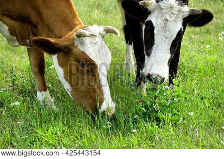 Cow And Calf Graze In The Field. The Cow And Calf Are Eating Grass. Heads Of Cows Close Up. Brown Co
