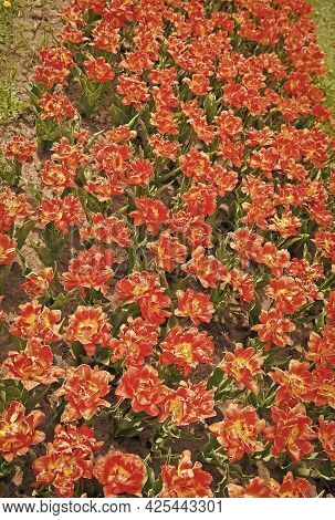 Beautiful Fluted Red Flowers With Golden Yellow Edges. Truly Striking Flower With Amazing Color. Bea