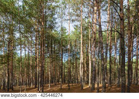 Autumnal Pine Forest Landscape. Woodland Thicket. Coniferous Forest.