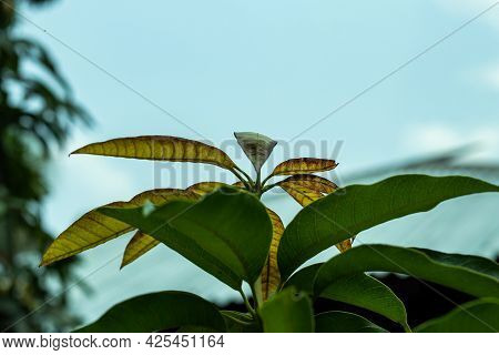 Mango Has New And Green Leaves Or Brown Kushi Leaves