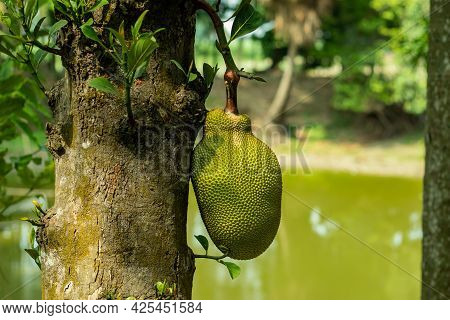 The Biggest Food Of The World Called Jackfruit Is An Exotic Fruit Grown In Tropical Regions Of The W