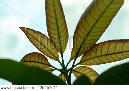 Top On The Cloudy Sky, Mango Has New And Green Leaves Or Brown Kushi Leaves