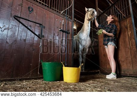 Horsewoman Carefully Cleans Her Horse In The Stables, The Animal Rubs With A Cloth Soaked In A Bucke