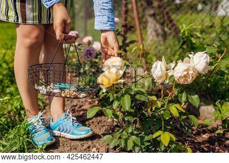 Woman Deadheading Spent Rose Blooms In Summer Garden. Gardener Using Pruner And Basket For Dry Flowe