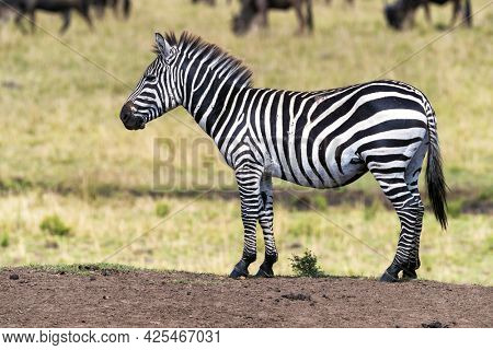 Young zebra, equus quagga, stands on a mound in the Masai Mara during the annual great migration. Wildebeest can be seen grazing the lush grass in the background.