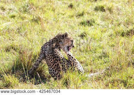 Adult female cheetah, acinonyx jubatus, grooming her coat in the lush grass of the Masai Mara, Kenya.