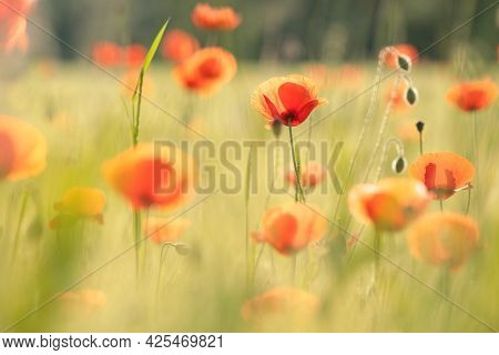 Poppy spring Nature flower meadow Nature flower Nature background Flower Nature background flower Nature background Nature flower Nature flower Nature sunset sun Nature background flower sunrise Poppies flower Nature flower Nature flower background Nature
