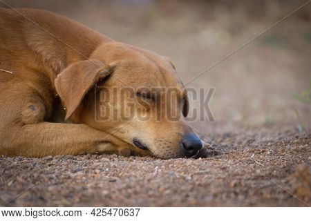 The Domestic Dog Is A Domesticated Descendant Of The Wolf. The Dog Derived From An Ancient, Extinct
